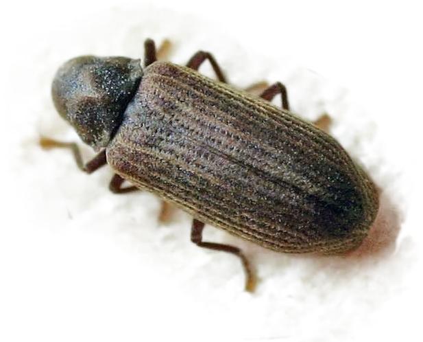 Especies carcomas bicho taladro polilla de la madera for Larvas de polillas en el techo
